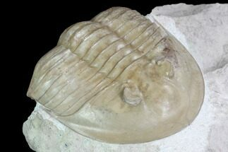 "Buy 3"" Ptychopyge Trilobite From Russia - Scarce Species - #99247"