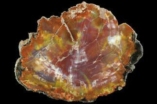 "8.6"" Wide, Polished Petrified Wood Slab - Arizona For Sale, #99251"