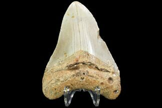 "4.23"" Fossil Megalodon Tooth - North Carolina For Sale, #99332"