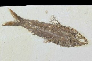 "Buy 3.7"" Detailed Fossil Fish (Knightia) - Wyoming - #99409"