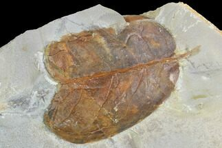 "1.9"" Detailed Fossil Leaf (Unidentified) - Montana For Sale, #99428"