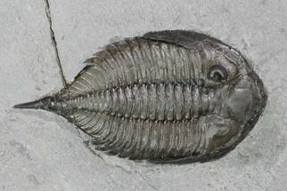 "2.2"" Dalmanites Trilobite Fossil  - New York For Sale, #99086"