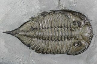 "2.4"" Dalmanites Trilobite Fossil  - New York For Sale, #99080"