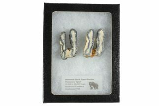 Buy Mammoth Molar Slices With Case - South Carolina - #99517