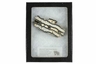 "2.5"" Mammoth Molar Slice With Case - South Carolina For Sale, #99527"