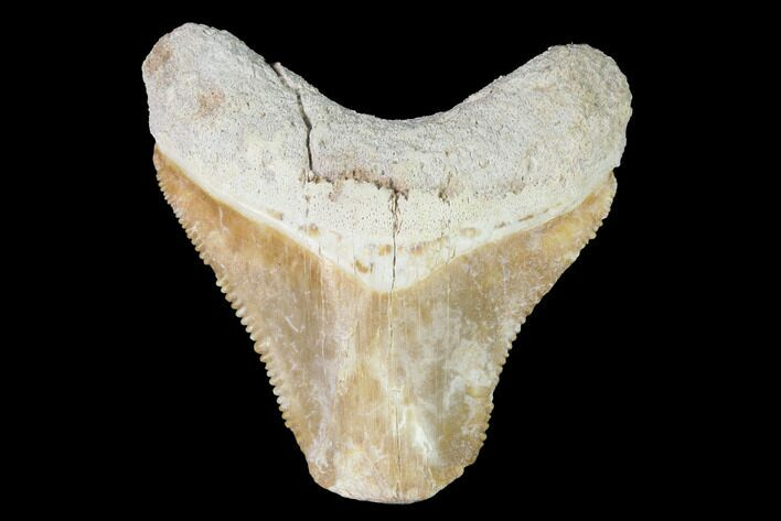 "Bargain, 1.68"" Bone Valley Megalodon Tooth - Florida"