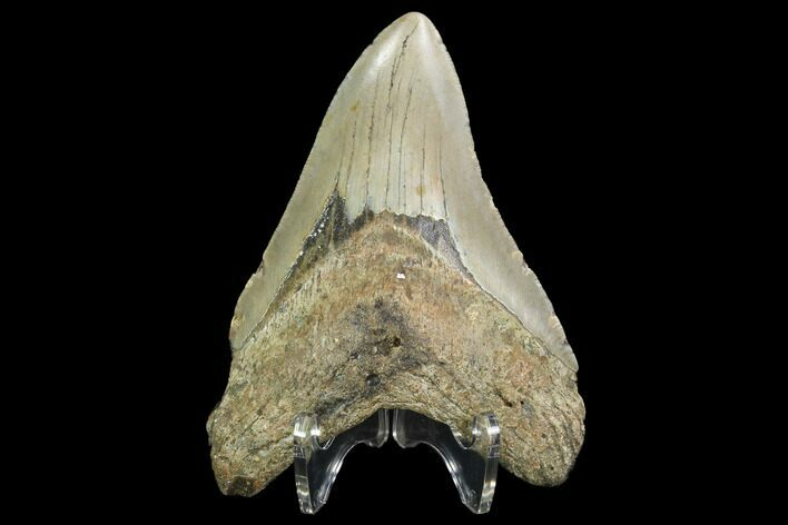 "4.23"" Fossil Megalodon Tooth - North Carolina"