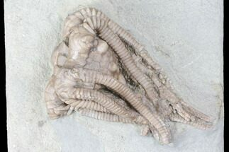 Agaricocrinus splendens - Fossils For Sale - #99921