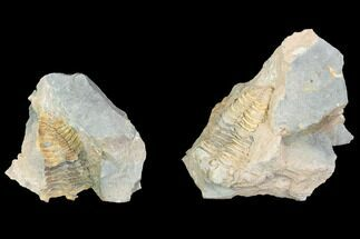 Calymene sp. - Fossils For Sale - #100020