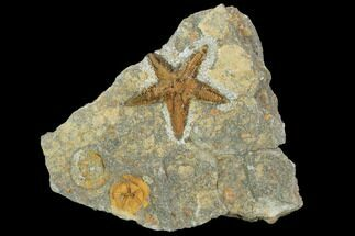 Petraster sp. & Spinadiscus lefebvrei - Fossils For Sale - #100080