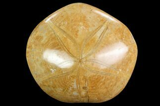 "2.8"" Polished Fossil Sand Dollar (Pygurus) - Jurassic For Sale, #100199"