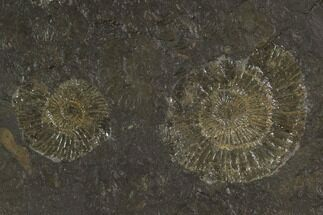 "4.1"" Dactylioceras Ammonite Cluster - Posidonia Shale, Germany For Sale, #100277"