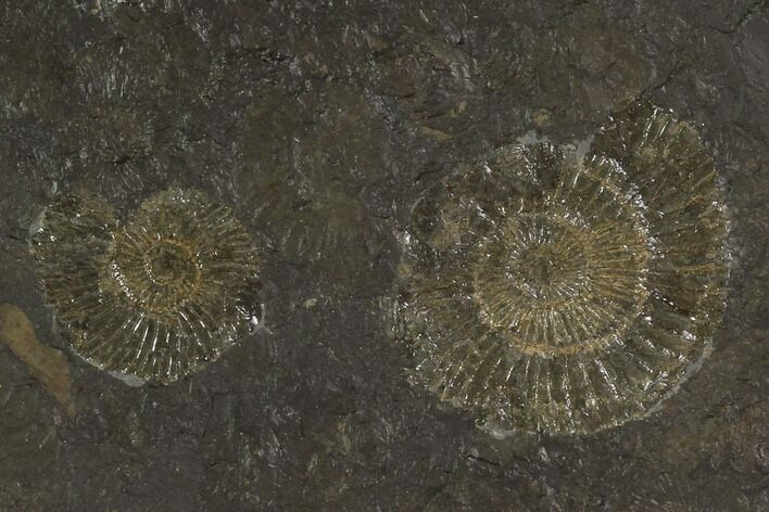 "4.1"" Dactylioceras Ammonite Cluster - Posidonia Shale, Germany"