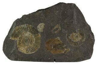 "Buy 4.9"" Dactylioceras Ammonite Cluster - Posidonia Shale, Germany - #100285"
