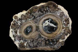 "Polished, 3.9"" Fossil Stromatolite Colony on Reed - Utah For Sale, #100364"