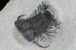 "Bargain, 1.1"" Cyphaspides Trilobite -  For Sale, #100373"