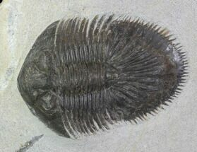Thysanopeltis speciosa - Fossils For Sale - #100371