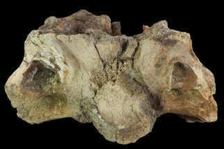 "8.3"" Triceratops Occipital Bone (base of skull) - Montana For Sale, #100406"