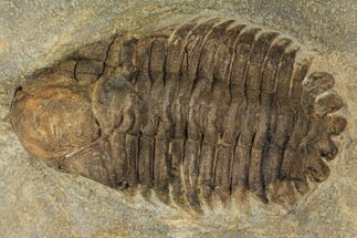 "Buy Bargain, 2.4"" Ordovicina Actinopeltis Trilobite - Draa Valley, Morocco - #100390"