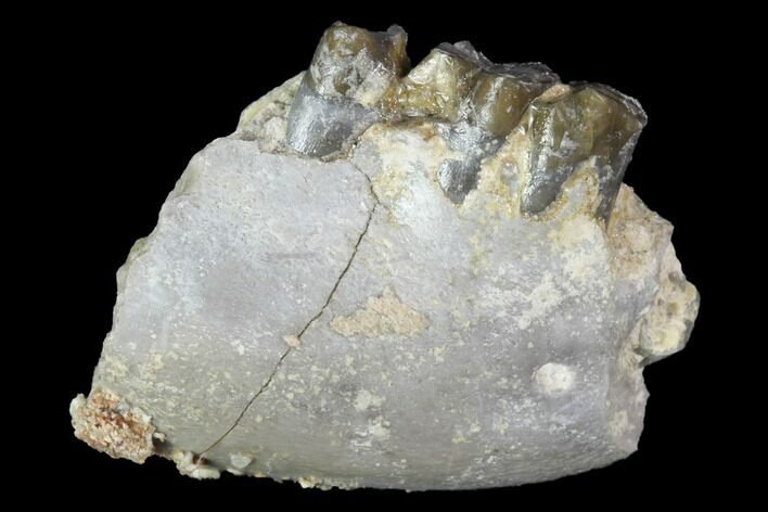 ".9"" Oligocene Ruminant (Leptomeryx) Jaw Section - South Dakota"