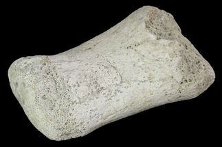 "1.7"" Hadrosaur Foot Bone - Alberta (Disposition #000028-29) For Sale, #100469"