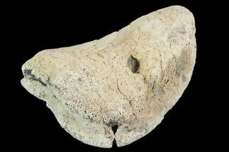 "Buy 2.2"" Hadrosaur Foot Bone - Alberta (Disposition #000028-29) - #100507"