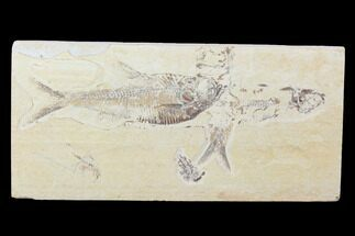 "Bargain, 8.4"" Fossil Fish Plate (Diplomystus & Knightia) - Wyoming For Sale, #100607"