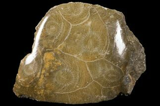 Hexagonaria sp. - Fossils For Sale - #100572