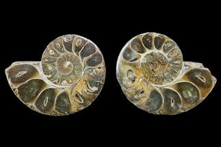 Phylloceratida - Ptychophylloceras? - Fossils For Sale - #100515