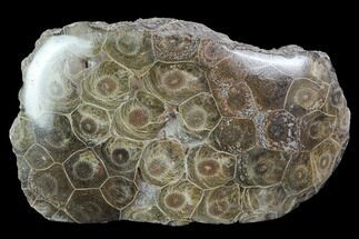 "4.7"" Polished Fossil Coral (Actinocyathus) - Morocco For Sale, #100721"