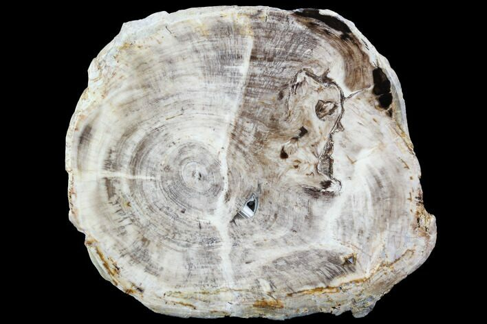 "5.4"" Petrified Wood (Bald Cypress) Slab - Saddle Mountain, WA"