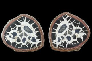 Septarian - Fossils For Sale - #101232