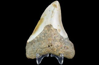 "Bargain, 3.51"" Fossil Megalodon Tooth - North Carolina For Sale, #101249"