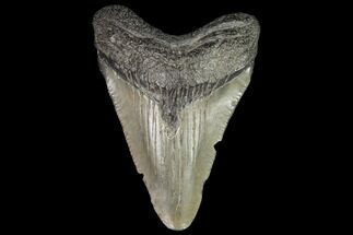 "2.3"" Juvenile Megalodon Tooth - Georgia For Sale, #101426"