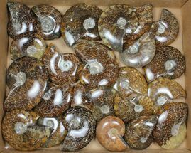 "Buy Wholesale: 3-5"" Whole Polished Ammonites (Grade A) - 25 Pieces - #101353"