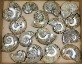 Mostly Cleoniceras - Fossils For Sale - #101409