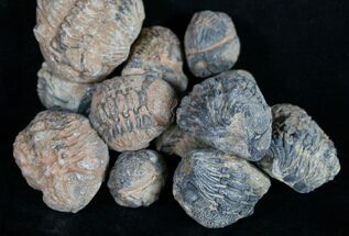 NA - Fossils For Sale - #101628