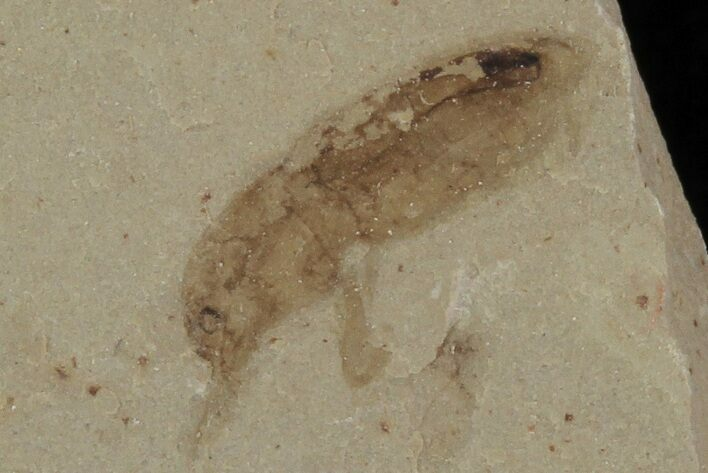 ".4"" Beetle Fossil- Green River Formation, Utah"