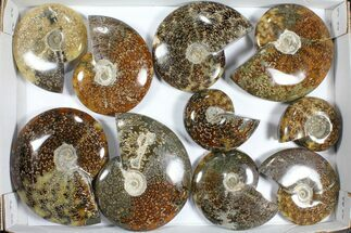 "Buy Wholesale Lot: Polished Ammonites (3.3 - 5.7"") - 10 Pieces - #101599"