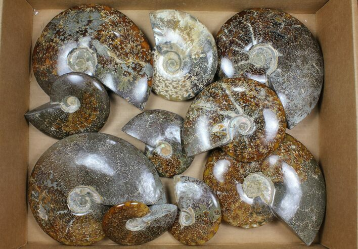 "Wholesale Lot: Polished Ammonites (3.6 - 6.6"") - 10 Pieces"