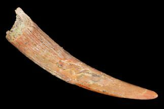"1.03"" Pterosaur (Siroccopteryx) Tooth - Morocco For Sale, #101696"
