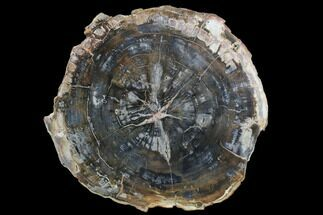 "12.3"" Colorful Petrified Wood (Araucaria) Round - Madagascar For Sale, #102434"