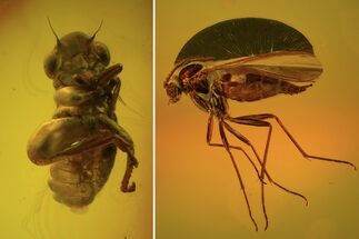 Order Hemiptera, Suborder Auchenorrhyncha (Cicada) & Order Diptera (Fly) - Fossils For Sale - #102777