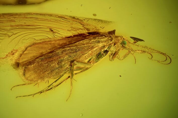Blue Eyed Fossil Caddisfly (Trichopterae) In Baltic Amber