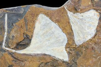 Ginkgo adiantoides - Fossils For Sale - #102861