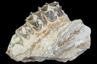 "2.5"" Oreodont (Leptauchenia) Jaw Section - South Dakota For Sale, #101834"