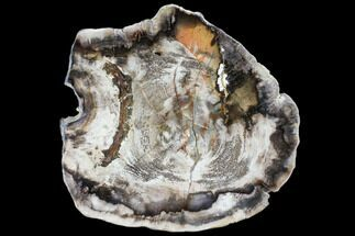 Carya sp. - Fossils For Sale - #103044