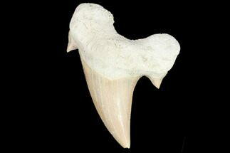 "Buy 2.2"" Fossil Shark Tooth (Otodus) - Morocco - #103225"