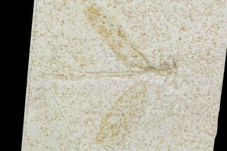 "3.3"" Fossil Dragonfly (Mesuropetala) - Solnhofen Limestone For Sale, #103613"