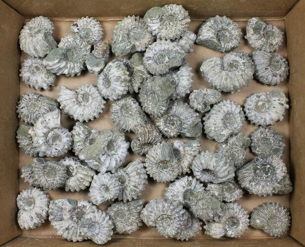Wholesale: 5Kg Bumpy Ammonite (Douvilleiceras) Fossils - 52 pieces